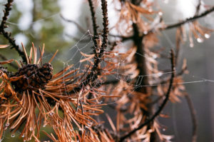 A macro shot of a dew covered spider web reaching across the branches of a pine tree.