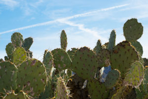 Chemtrails cross behind cacti.