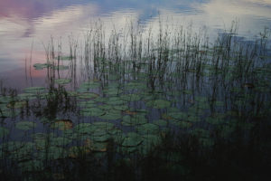 Lilly pads are surrounded by tranquil ripples and colors at dusk.